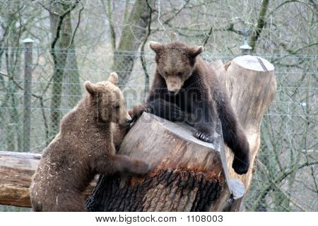 Brown Bears Playing, Skansen Park, Stockholm, Sweden