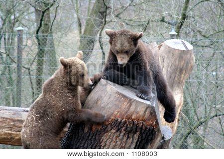 Brown Bears Playing, Skansen Park, Stockholm, Sweden