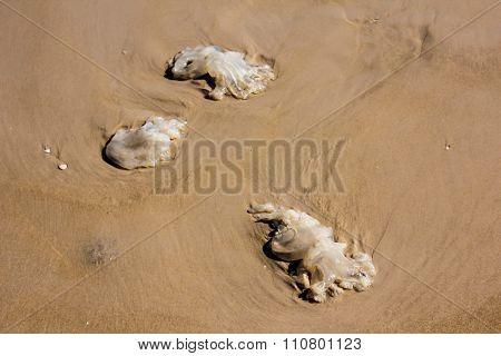 Dead Jellyfish On The Beach