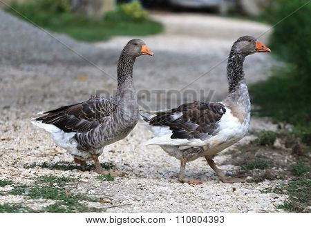 White Grey  Gooses Standing On Poultry Yard