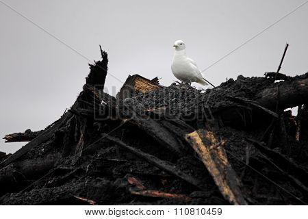 Rare Ivory Gull (Pagophila eburnean) on top of industrial waste in Arctic