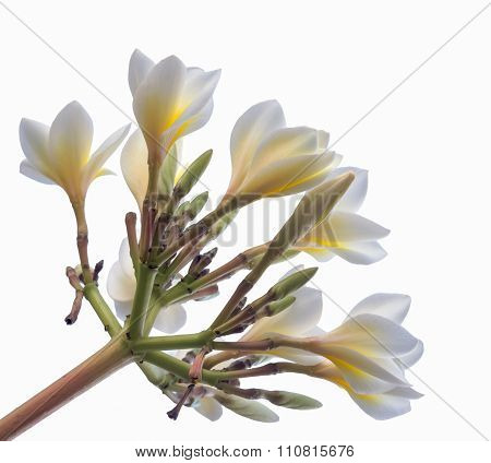 Selective Focus Of  Plumeria Flowers  On Isolated White Background