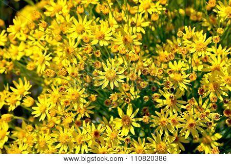 Senecio Erucifolius Flowers