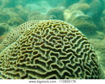Closed up to polyp of brain coral