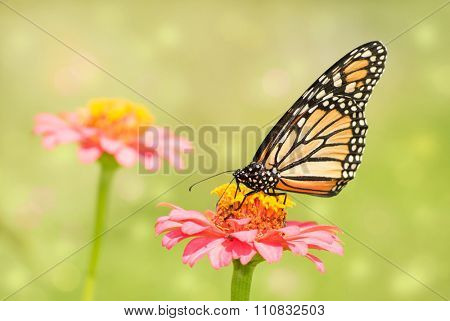 Dreamy image of a Monarch butterfly on light pink Zinnia flower in sunny summer garden