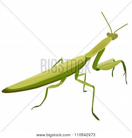 Illustration Of Mantis