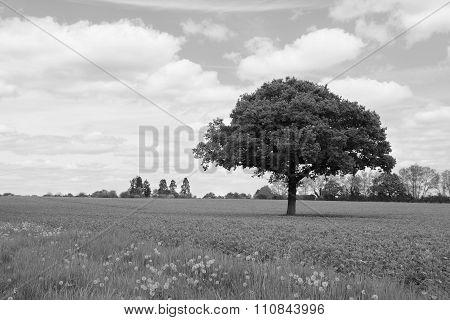 Lone Oak Tree In A Field