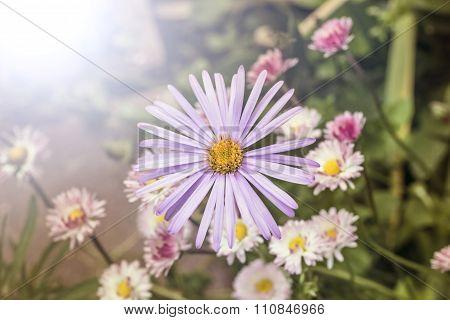 Daisy Alpinus