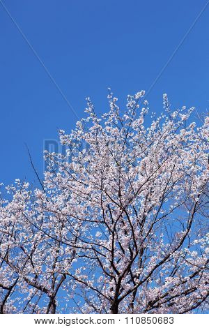 Someiyoshino cherry tree, cherry blossom under a deep blue sky.