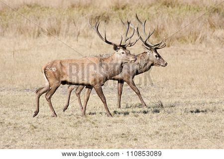 Two Large Red Deer