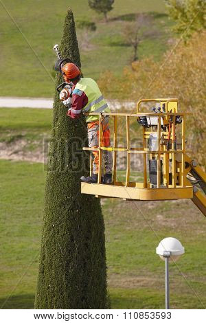 Equipped Man On A Crane Pruning A Cypress With Chainsaw