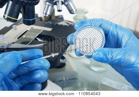 Microbiologist Hand Cultivating A Petri Dish Beside Microscope.