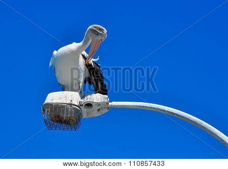 Australian Pelican Preening