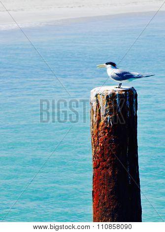 Crested Tern: Coastal Bird