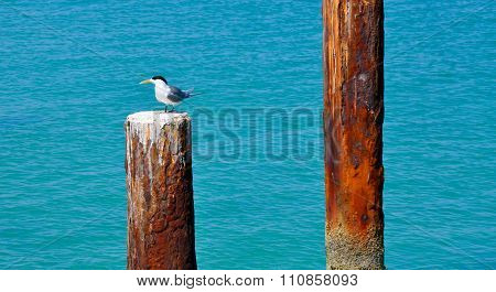 Crested Tern: Indian Ocean