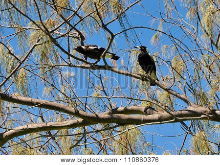 Tree Life: Australian Magpies