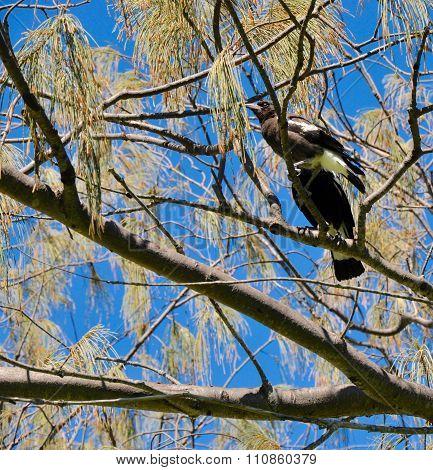Australian Magpies: Wild