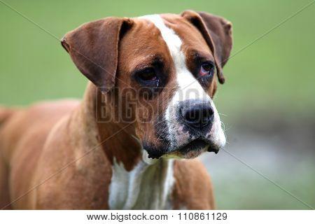 Head Shot Of An Amarican Bulldog On Natural Background