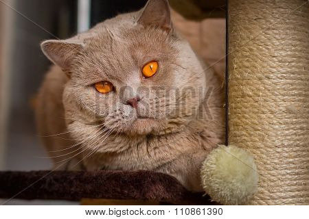 close-up portrait British shorthair lilac cat