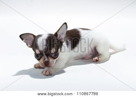 Cute Puppy Chihuahua