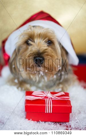 yorkshirer terrier wearing a nicholas hat, and a present for x-mas
