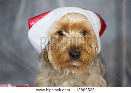 yorkshire terrier wearing santa hat, x-mas, dog
