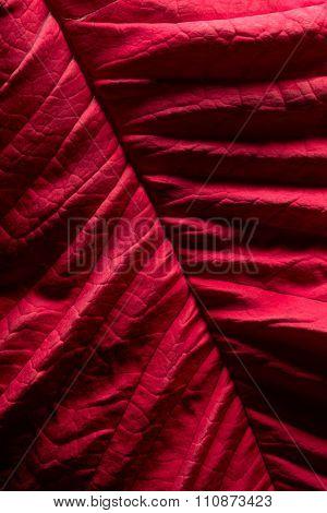Poinsettia Leaf Texture