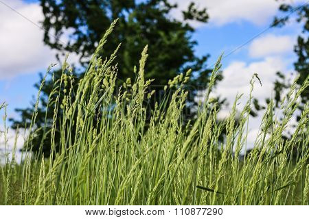 Tall Grass In the Wind