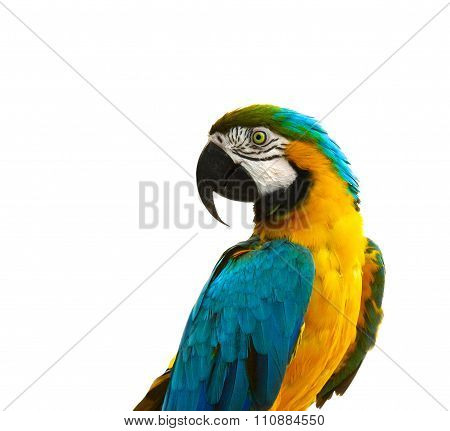 Parrot - Curious Looking Yellow Blue Macaw
