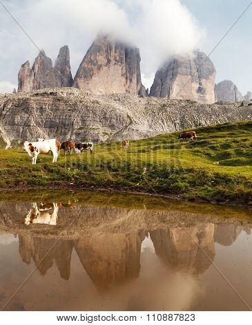 Tre Cime Or Drei Zinnen With Cows Mirroring In Lake