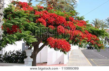 Red shrub in Tenerife street
