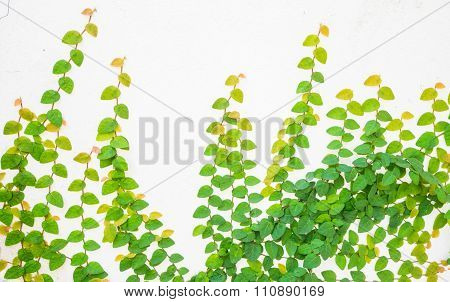ivy leaves on a wall