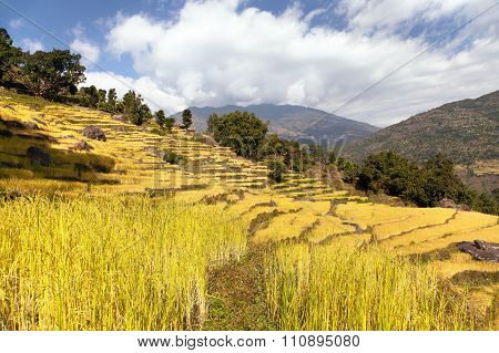 Golden Terraced Rice Field In Solukhumbu Valley, Nepal