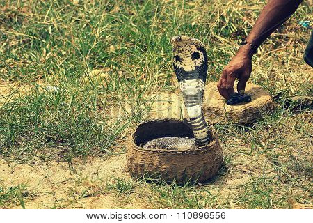 Cobra in hamper