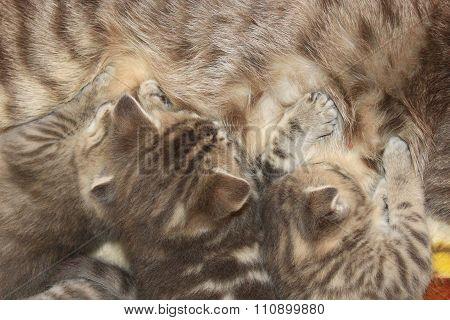 Cat With Newborn Kittens Of Scottish Straight Breed