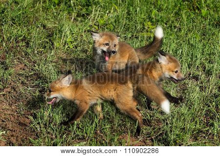 Three Red Fox Kits (vulpes Vulpes) At Play