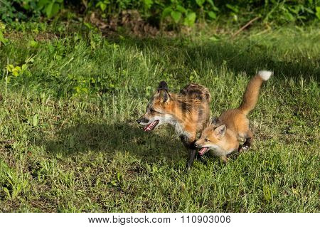 Red Fox Vixen (vulpes Vulpes) And Kit Run Left