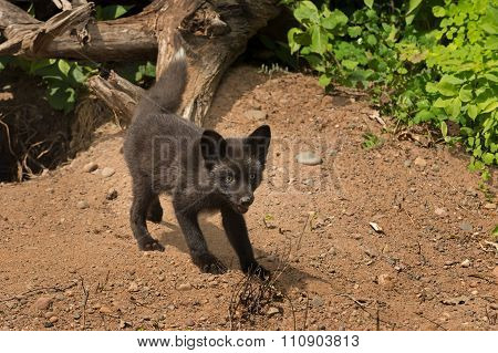 Young Silver Fox (vulpes Vulpes) Stands Outside Den