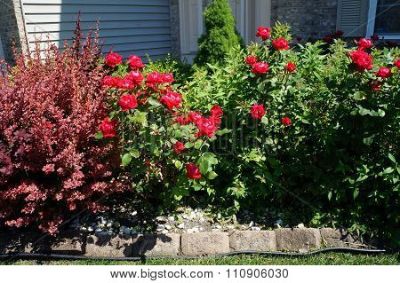 Red Roses and Japanese Barberry