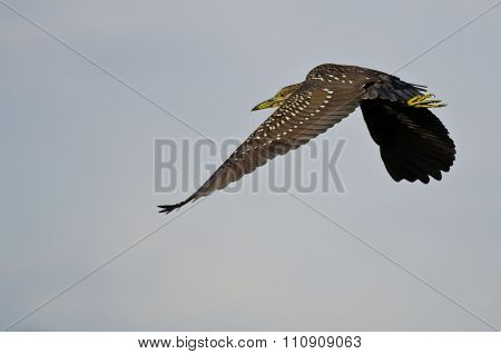 Immature Black-crowned Night Heron Flying In A Blue Sky