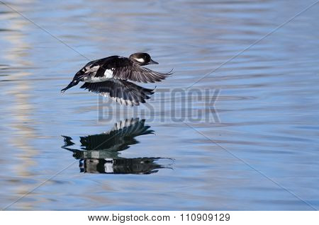 Female Bufflehead Duck Flying Low Over The Still Pond Waters