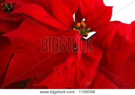 Red Flower Poinsettia