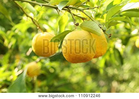 Ripe yellow fruits on Yuzu - Japanese lemon bush