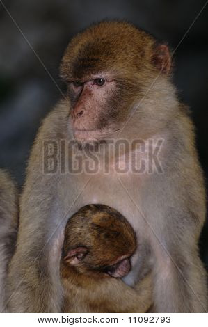 Gibraltar's ape with her cub