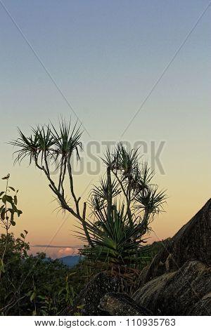 Pandanus Trees In The Sunset B