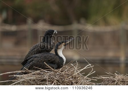 Double-crested Cormorant, Phalacrocorax auritus, bird