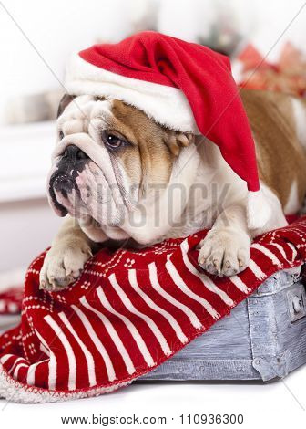 santa dog - english bulldog wearing santa hat