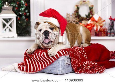 Bulldog in Santa hats
