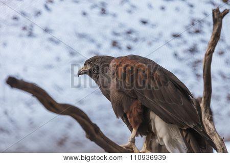 Harris' Hawk, Parabuteo unicinctus harrisi