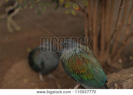 Nicobar Pigeon, Caloenas nicobarica, bird